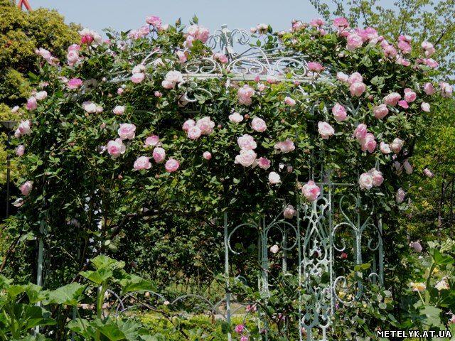 Отличие парковых роз от кустовых